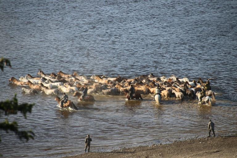 "Испокон веков. Лошади конезавода ""Берте"" переправились через реку Лену"