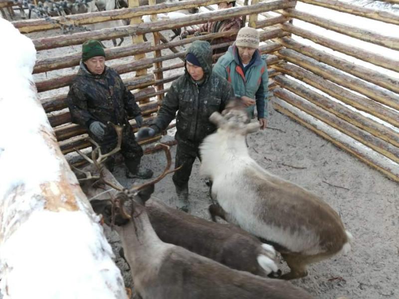 В Томпонском районе Якутии идет осенняя корализация домашних оленей