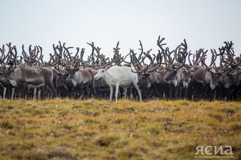 Охоту на северного оленя могут запретить в Якутии и Красноярском крае