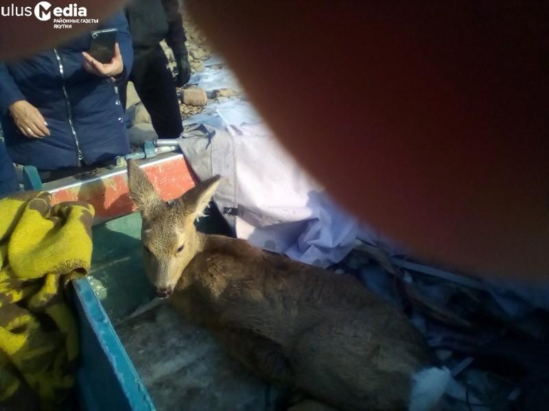 В Якутии жители Усть-Маи спасли косулю от ледяного плена