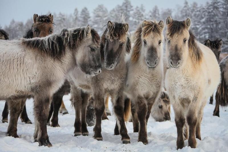 В Закон «О табунном коневодстве» депутаты Якутии планируют внести изменения о традиционном забое