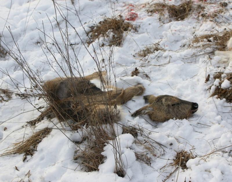 В Хангаласском районе Якутии выявили факт незаконной добычи сибирской косули