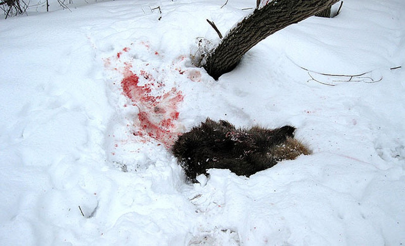 Смерть от когтей хищника. Следователи выясняют обстоятельства гибели Александра Крылова