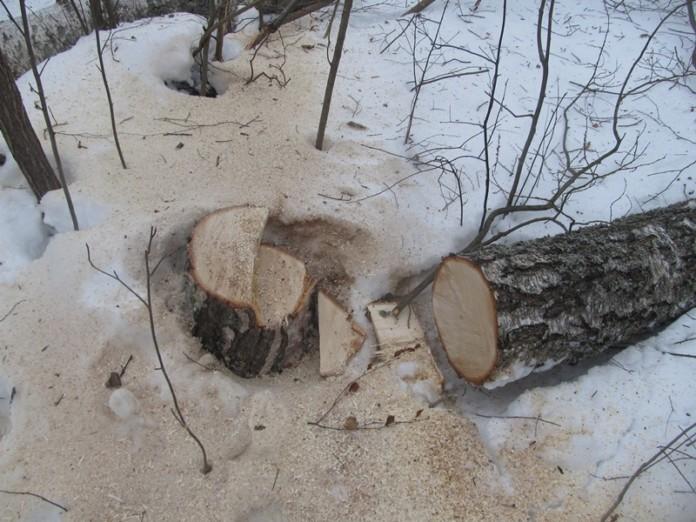 Сахамин Афанасьев: Вырубка живых деревьев в частных домовладениях запрещена