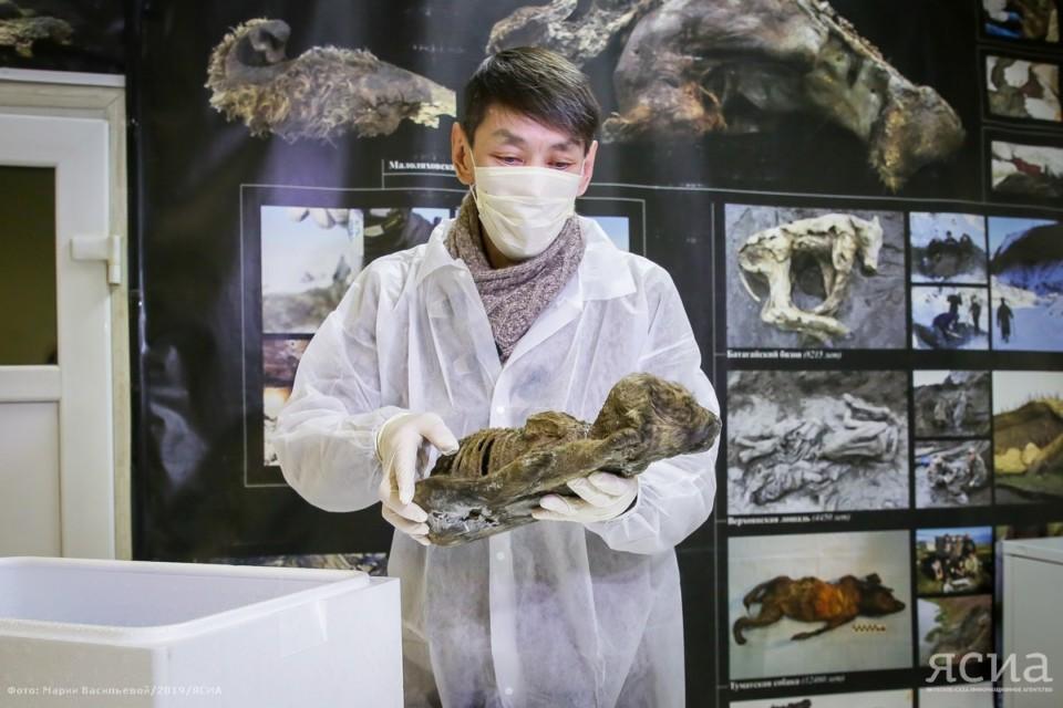 Останки древнего щенка, найденного в Якутии, отправят в Швецию для исследований