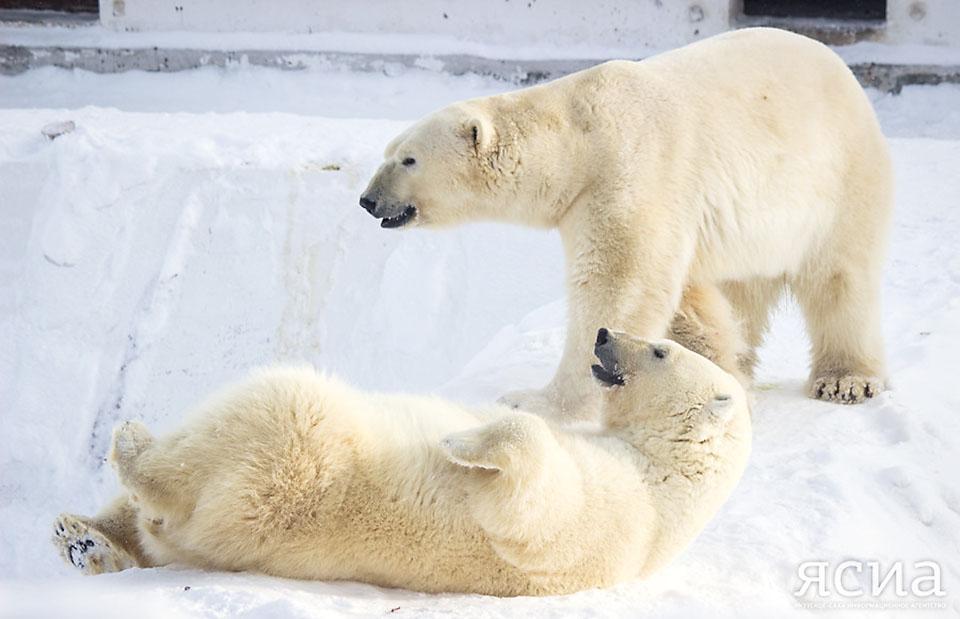 С Днем белого медведя! Как поживают якутские косолапые