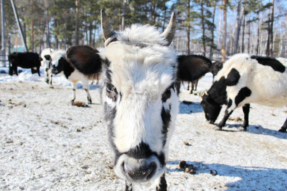 Якутские коровы прибыли в Мирнинский район. В Сюльдюкаре займутся селекцией автохтонной породы