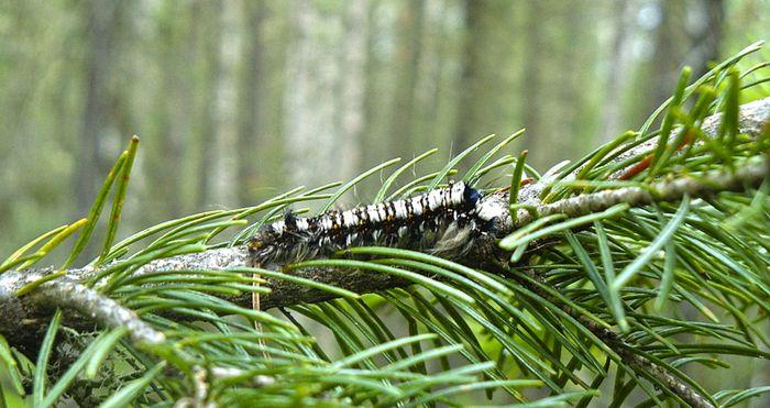 ВИДЕО. Опасный карантинный вид. Эксперт о нашествии гусениц в лесу под Якутском