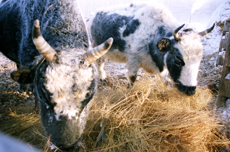 На ферме «Бытантай» чуть не погибли из-за голода коровы якутской породы