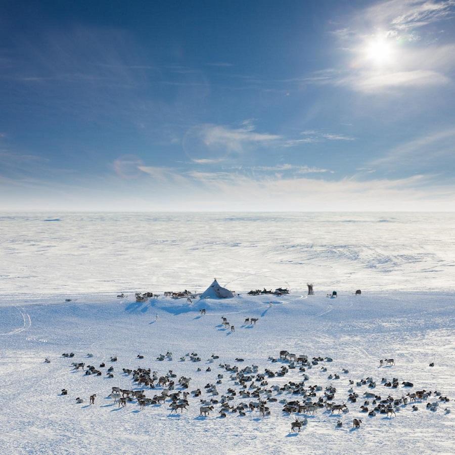 АЛРОСА продолжает работу над созданием природного заповедника дикого северного оленя