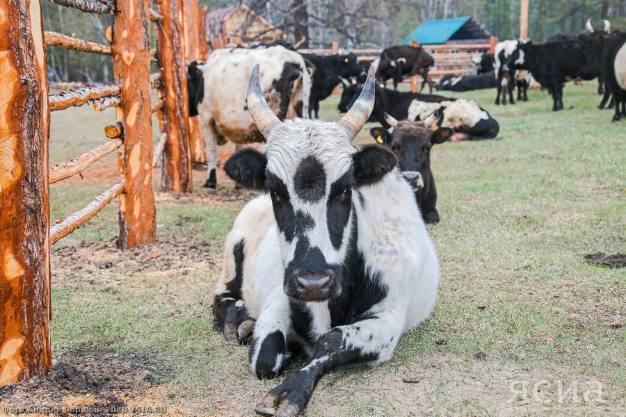 Глава Якутии: Восстановление популяции якутского скота – одна из базовых задач сельского хозяйства