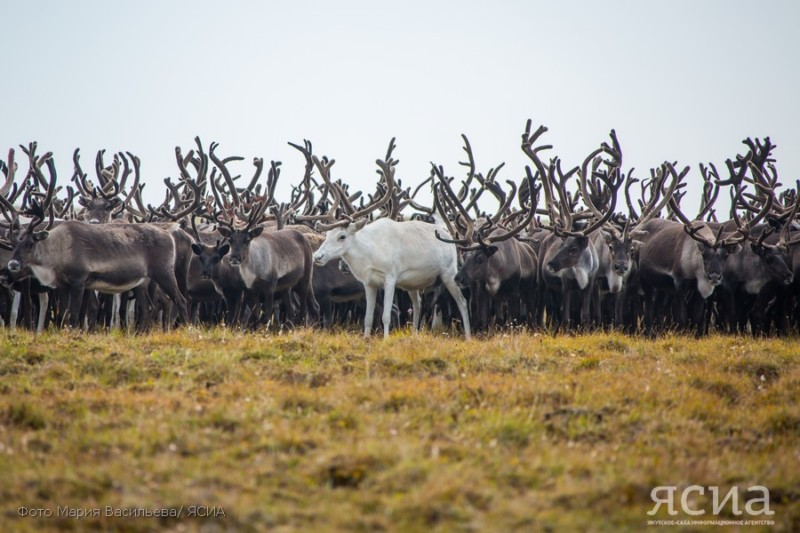 Ученые предложили создать резерват для воспроизводства популяции оленей на севере Якутии