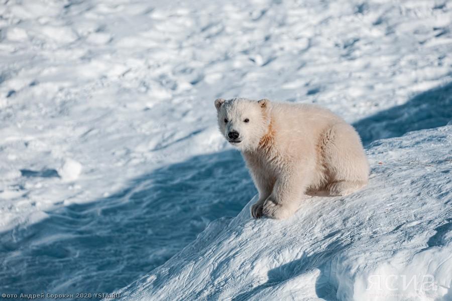Его имя – Алмаз! Подведены итоги конкурса на выбор имени для медвежонка