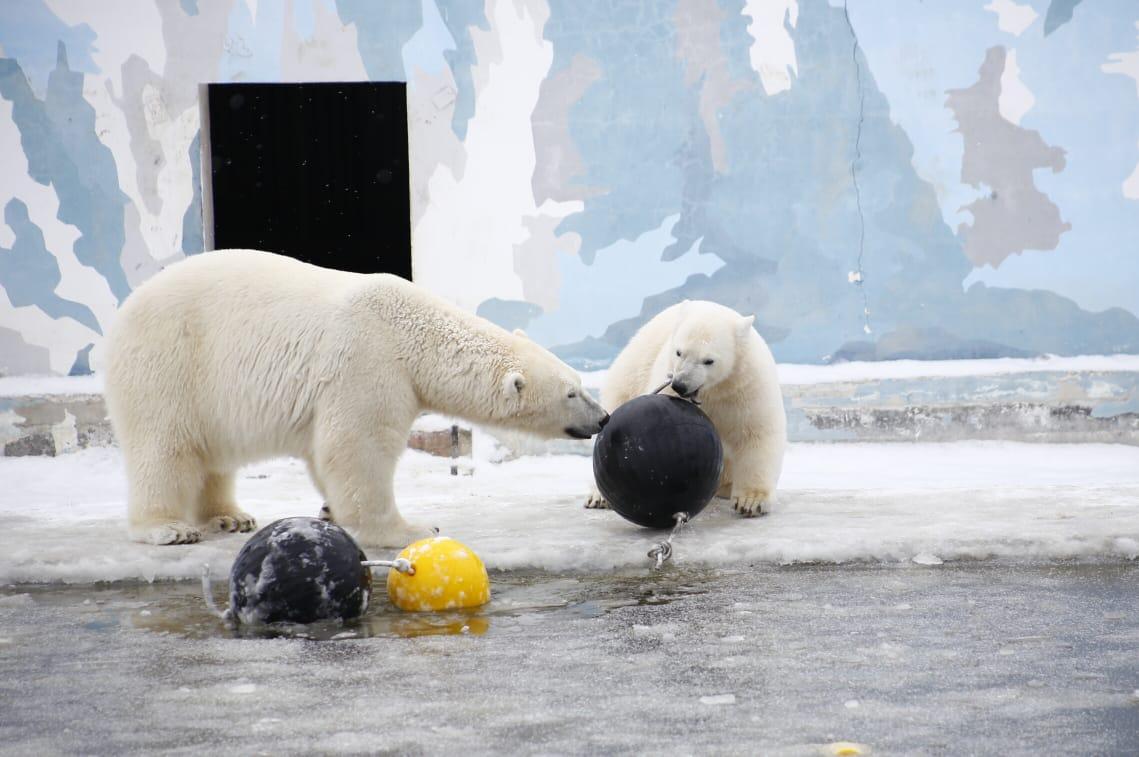 Якутские медведи Алмаз и Колымана получили новые игрушки