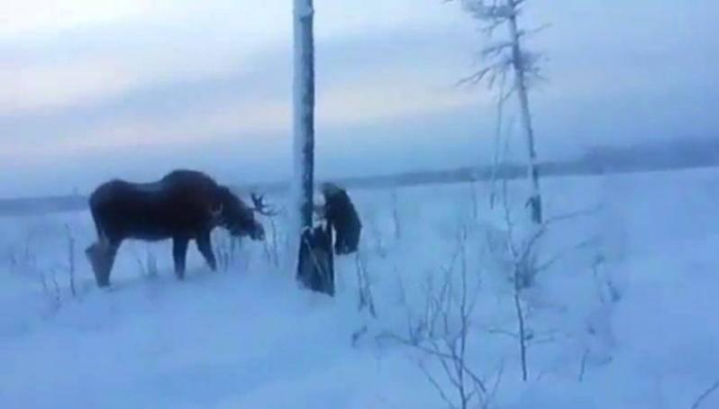 Минэкологии Якутии начало проверку по факту добычи лося, запутавшегося в проводах