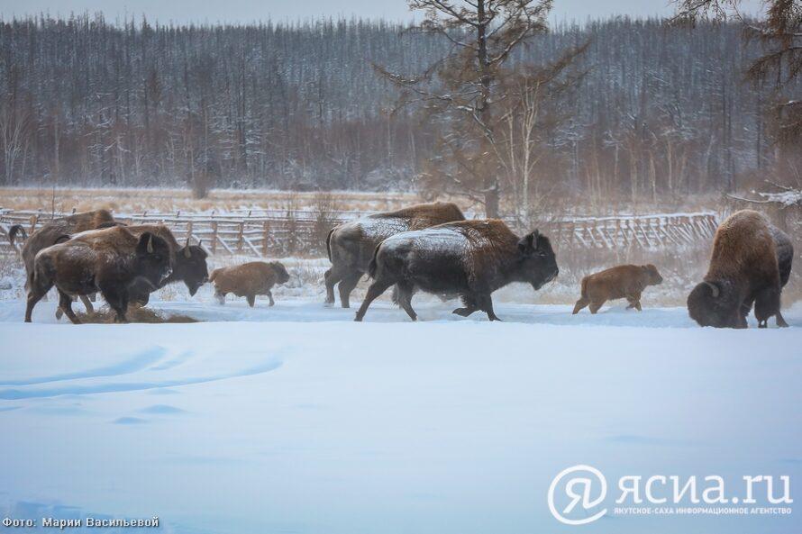 В Минэкологии Якутии напомнили, что на лесного бизона охотиться нельзя