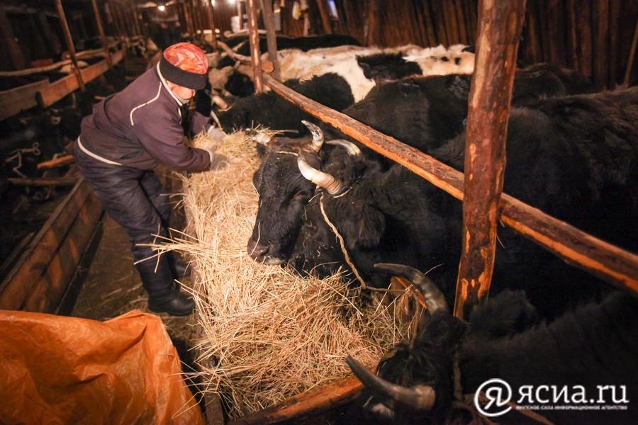 К февралю количество крупно-рогатого скота в Якутии составило 184 тысячи голов