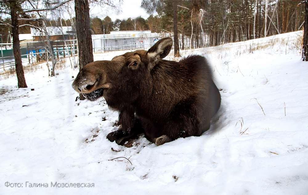 В Якутии  будут судить двух браконьеров за добычу лося