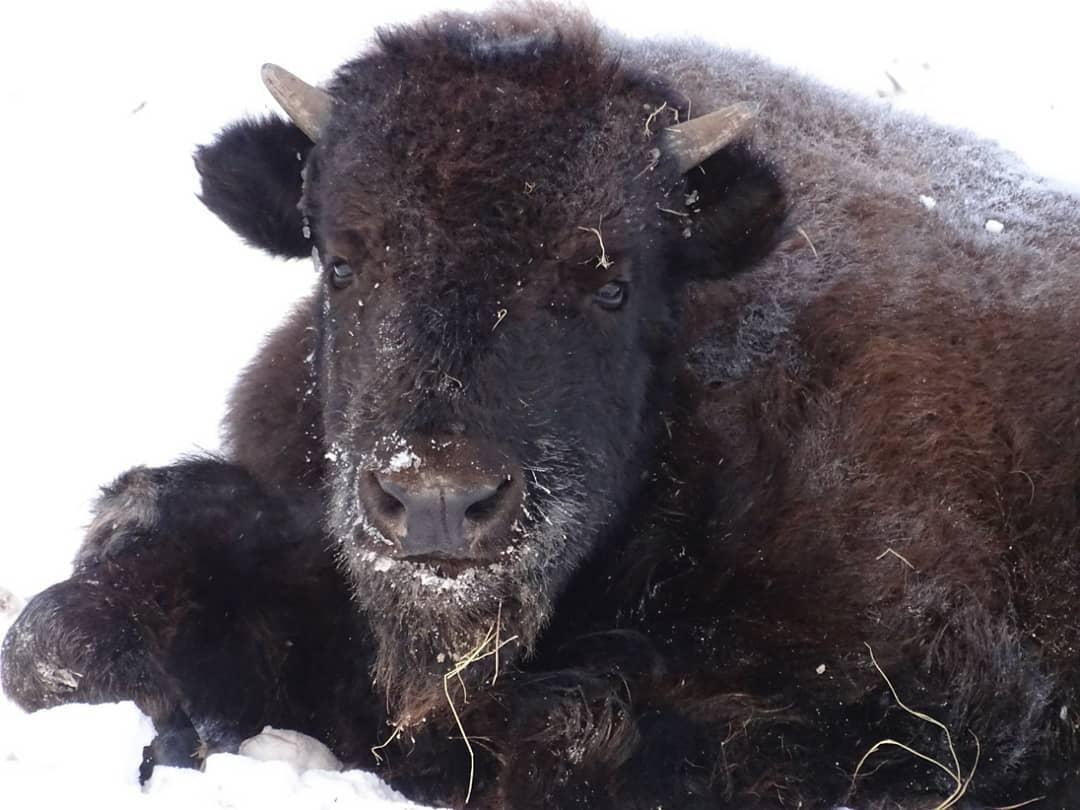"""ВИДЕОФАКТ: В """"Орто Дойду"""" показали новый кадр детеныша бизонов"""