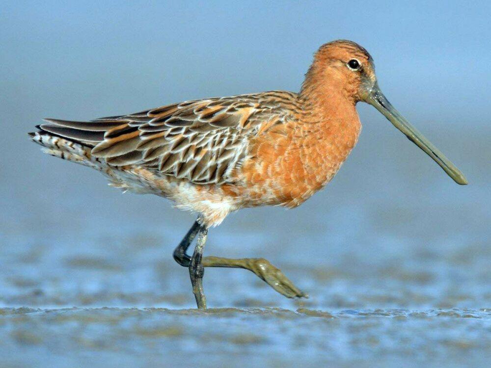 Якутия может стать местом гнездования исчезающего вида птицы