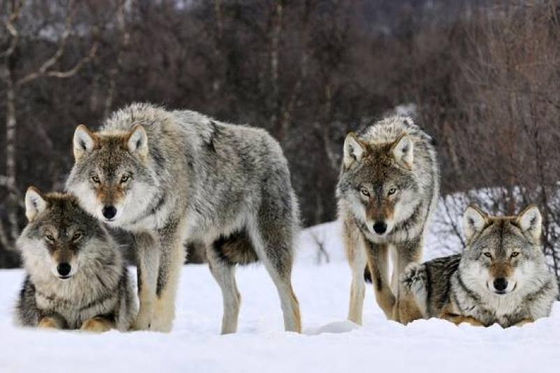В Якутии усилят контроль над численностью волков