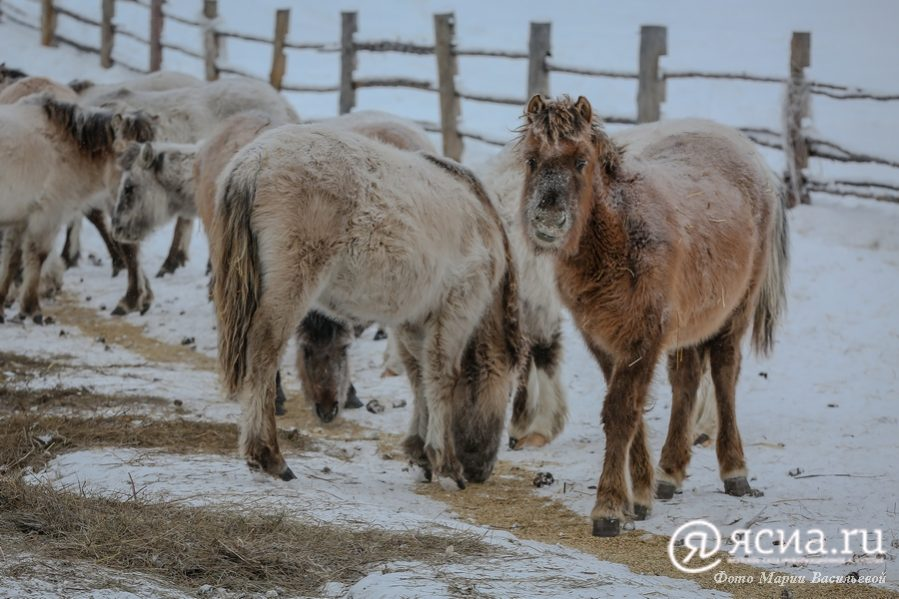 В Якутии предлагают принять региональный закон о национальном виде забоя сельхозживотных