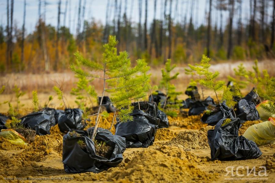 Сахамин Афанасьев рассказал о восстановлении лесов в Якутии