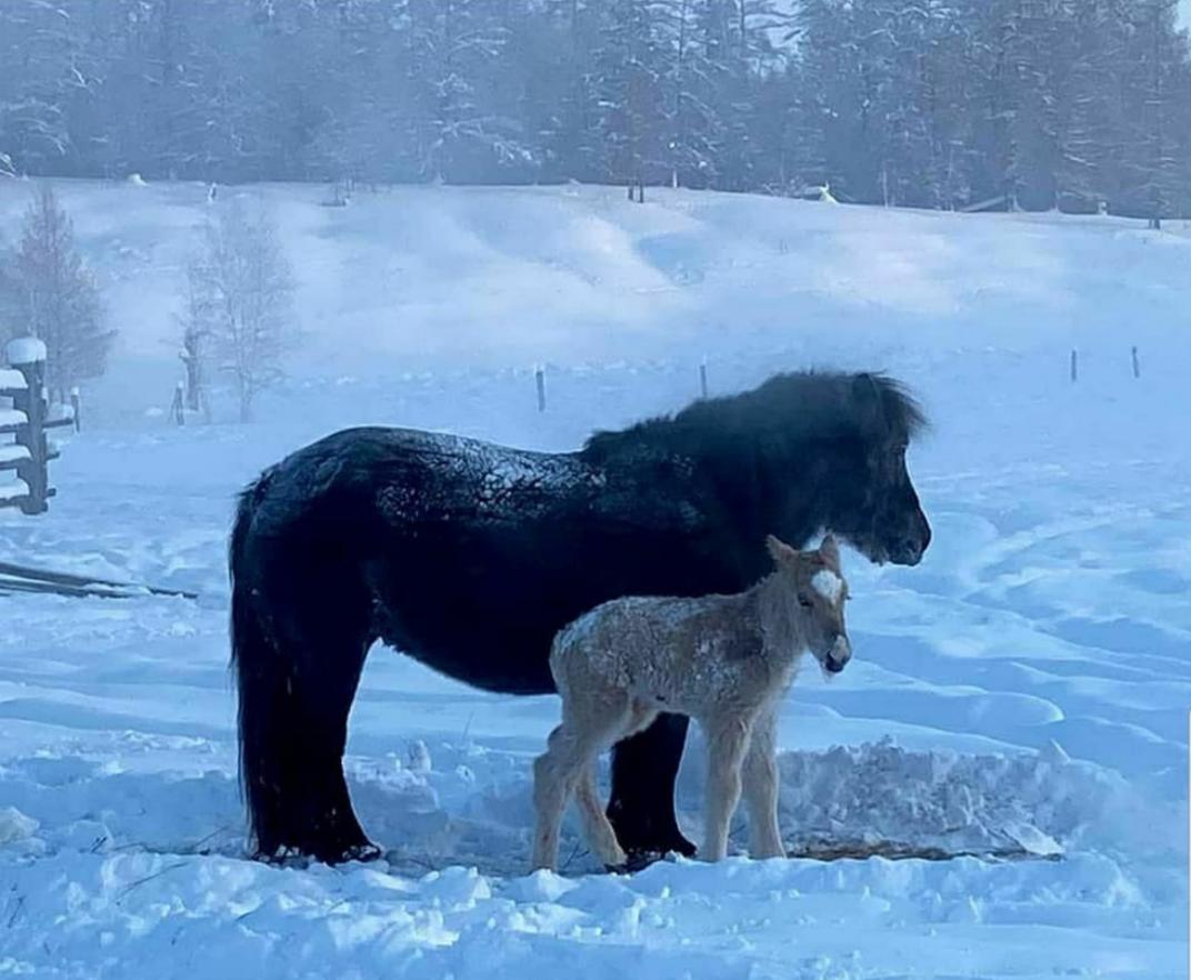 Зимнее чудо. В Якутии родился жеребенок в -55 градусов