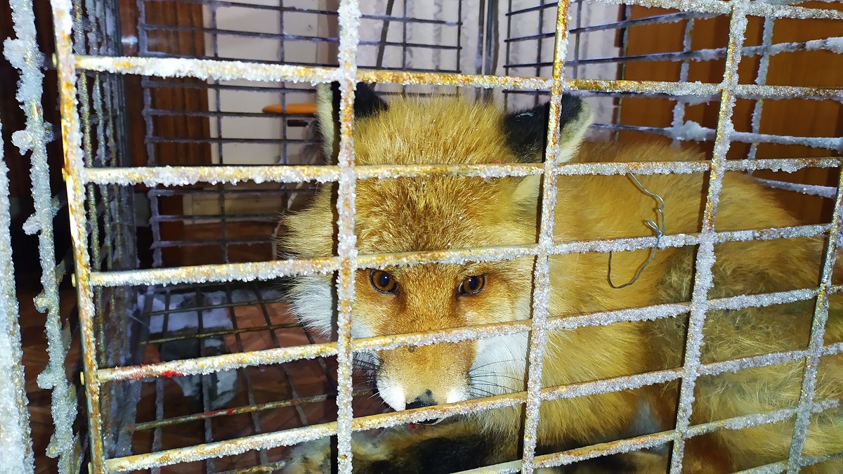 Госинспекторы спасли лисицу, забредшую в якутский город