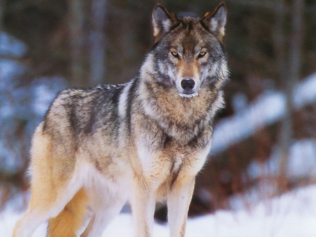 Информация о нападении волка на собаку в городе Олекминске не подтвердилась