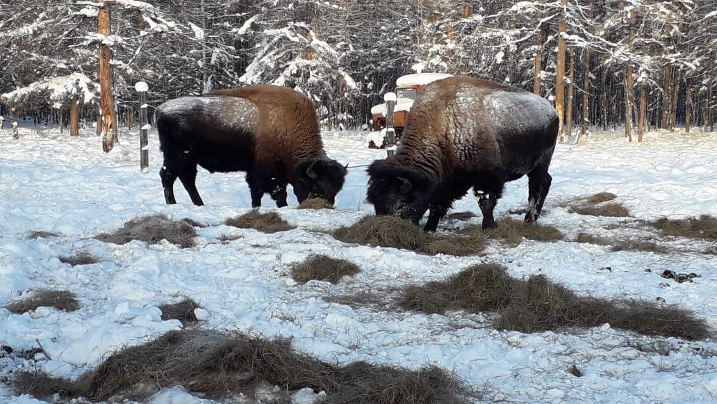 """Два бизона замечены у отдаленной метеостанции в природном парке """"Синяя"""" в Якутии"""