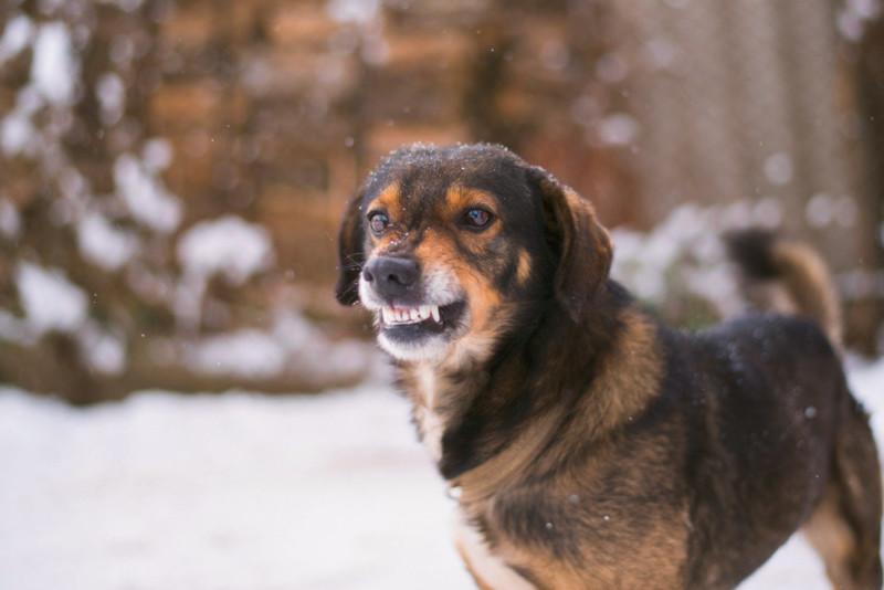 Собака бывает кусачей... Кинологи назвали пять причин агрессии у собак