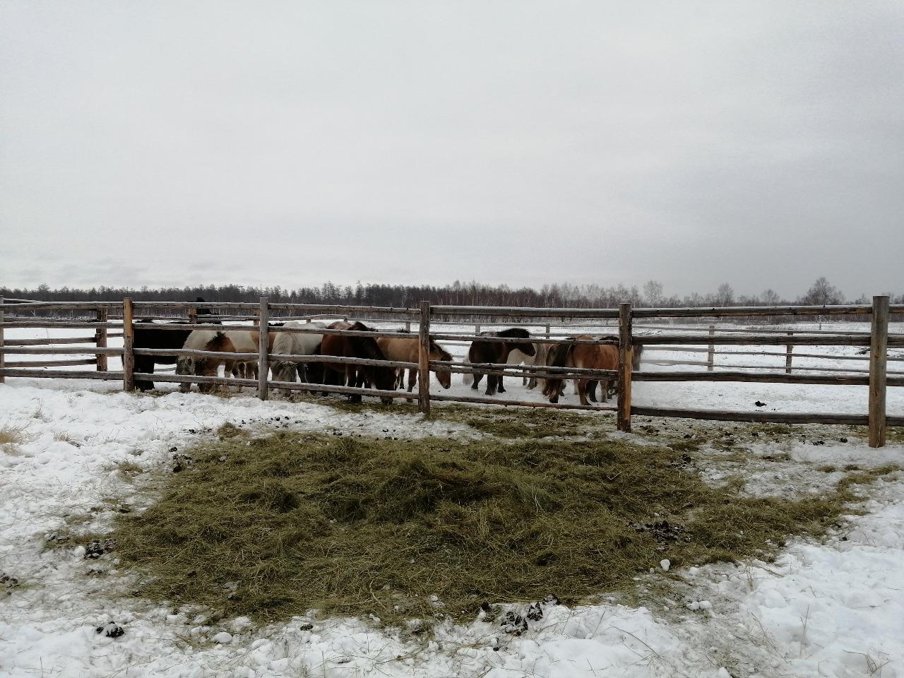 В тепле и сытости. В хозяйствах Хангаласского улуса Якутии кормов для скота достаточно