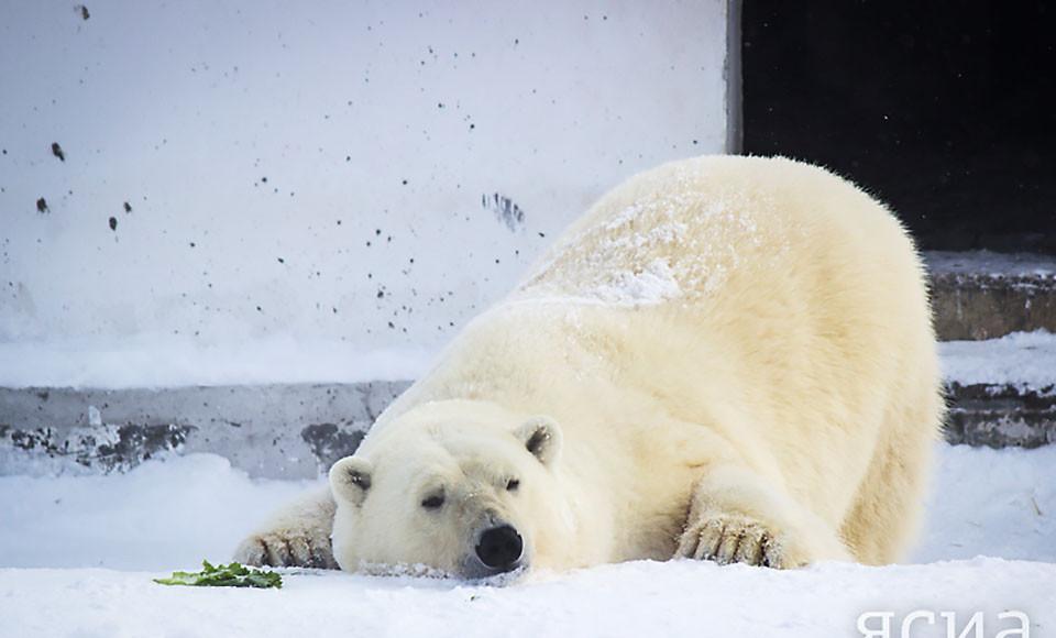 Стартовал конкурс по выбору имени для белой медведицы из Якутии