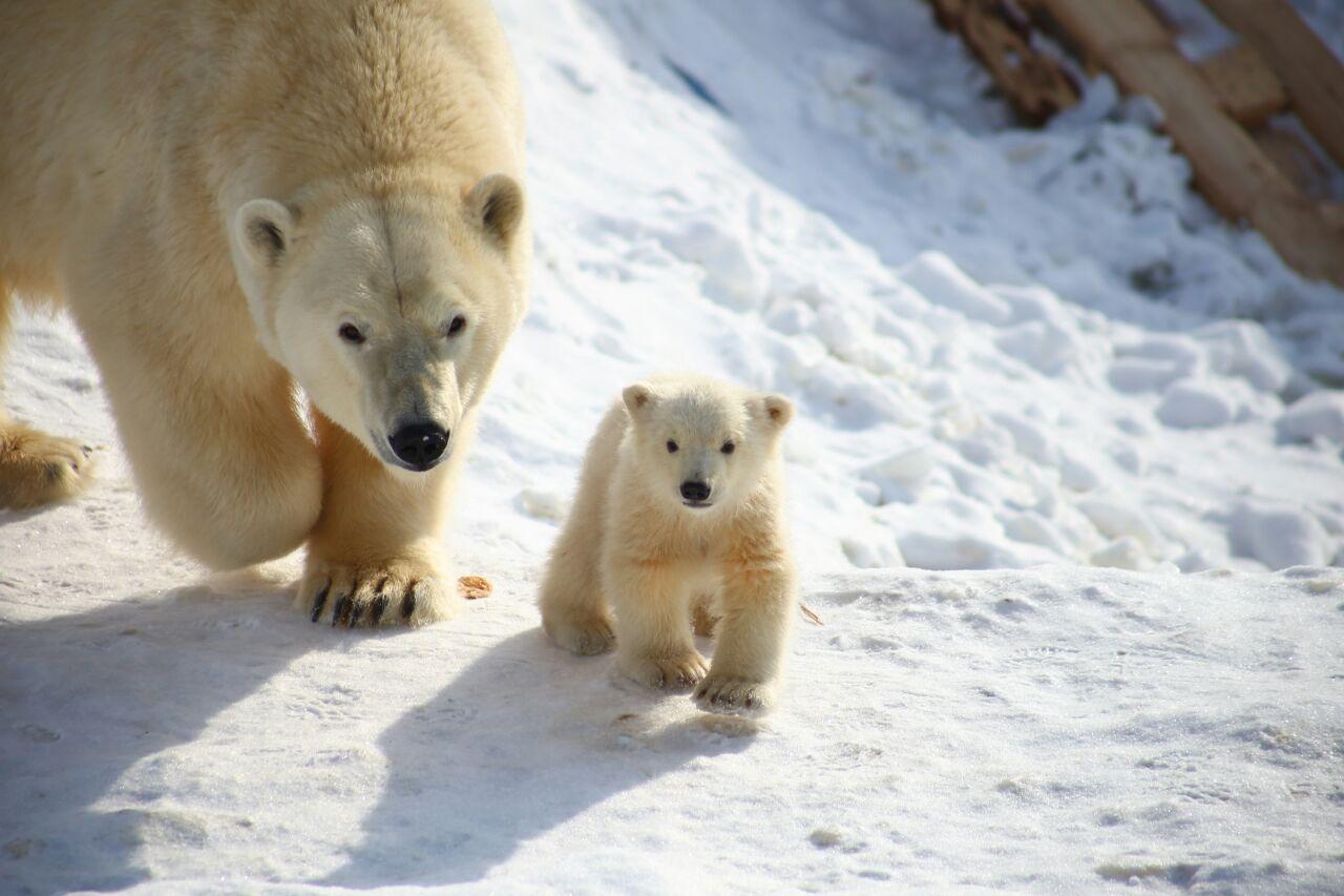 В Якутии объявили конкурс рисунков белого медведя
