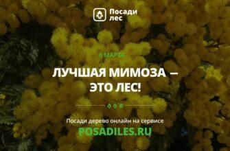 В преддверии 8 марта стартует акция «Лучшая мимоза - это лес»