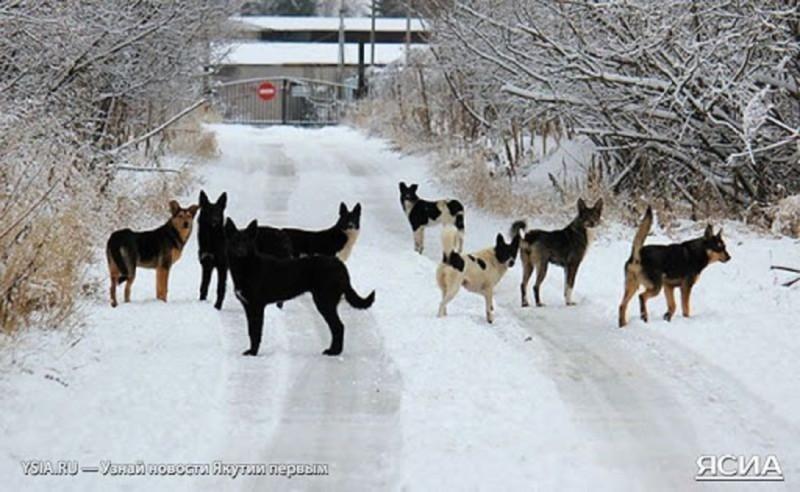 Для службы отлова собак Якутска закупят дополнительную машину