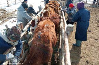 В Мегино-Кангаласском районе Якутии завершили весенние лечебно-противоэпизоотических мероприятия