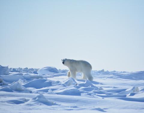 Белый медведь, замеченный в Верхоянском улусе, направляется на юг вдоль трассы