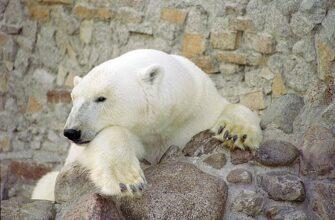 В Ленинградском зоопарке умерла медведица Услада - бабушка Хаарчааны