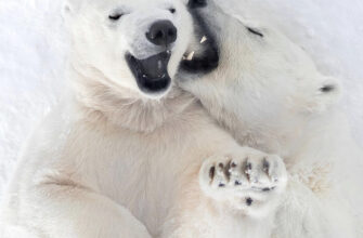 Белые медведи Натальи Оконешниковой в «TheSiberianTimes»