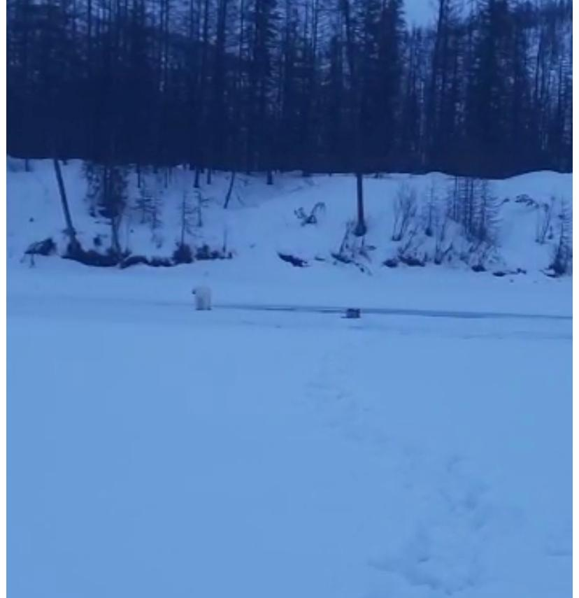 Белый медведь, напугавший рыбака в Якутии, будет отловлен