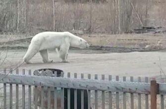 Куда отправить дикого белого медведя власти Якутии решат совместно с Минприроды России