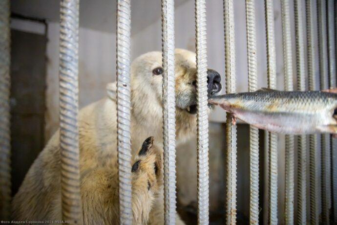 Дальнейшая судьба белой медведицы из Томпонского района Якутии (ВИДЕО)