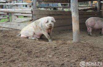 Более 5 тысяч свиней и поросят готовы реализовать свиноводческие хозяйства Якутии
