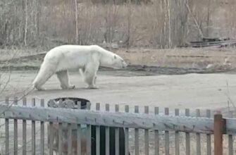 Белого медведя заметили в поселке Джебарики-Хая