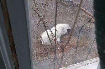 """Белого медведя, блуждающего в Томпонском районе, отловят и привезут в зоопарк """"Орто Дойду"""""""