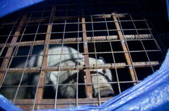 Белый медведь из Томпонского улуса доставлен в Якутск на вертолете