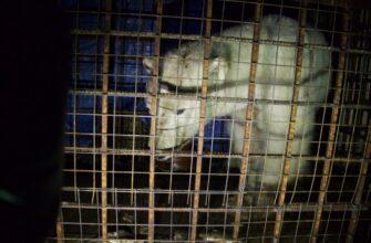 """Найденный в якутском поселке белый медведь помещен в зоопарк """"Орто Дойду"""""""