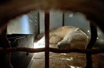 Спасенную в Якутии белую медведицу доставили на самолете ВКС России в Подмосковье